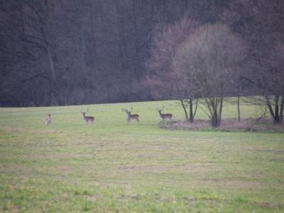 Szarvasok az erdő szélén